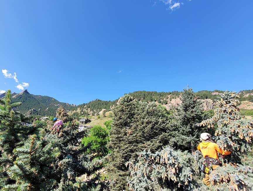 Two climbers in the Spruce trees with mountains in the background