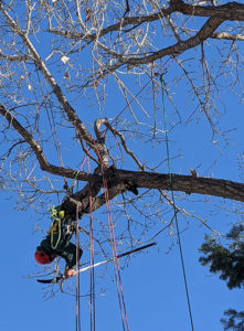 Shane Arnold working in a tree, cutting branches.