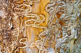 Emerald Ash Larvae