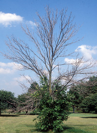 Emerald Ash Borer-damaged Ash